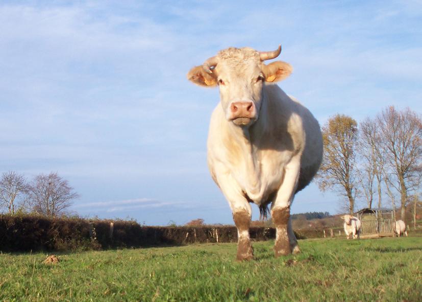Vache Charolaise Boucherie Charcuterie Traiteur Saône et Loire Bourgogne Franche Comté Bovin Cularde Charolaise